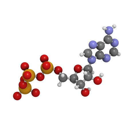 Adenosine triphosphate (ATP) energy transport molecule, chemical structure. ATP is the main energy transport molecule in most organisms. Atoms are represented as spheres with conventional color coding: hydrogen (white), carbon (grey), oxygen (red), nitrog