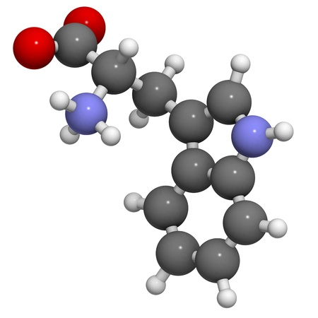 biosynthesis: Tryptophan (Trp, W) amino acid, molecular model. Amino acids are the building blocks of all proteins. Atoms are represented as spheres with conventional color coding: hydrogen (white), carbon (grey), oxygen (red), nitrogen (blue)
