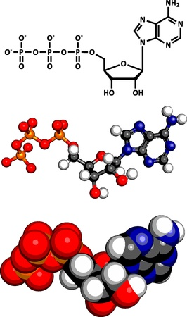 Adenosine triphosphate (ATP) energy transport molecule, chemical structure. ATP is the main energy transport molecule in most organisms. Three representations: 2D skeletal formula, 3D space-filling model and 3D ball-and-stick model.