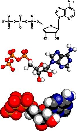 Adenosine trifosfaat (ATP) energietransport-molecule, chemische structuur. ATP is de belangrijkste energiebron vervoer molecuul in de meeste organismen. Drie voorstellingen: 2D skelet formule, 3D-ruimte-vulling model en 3D ball-and-stick model.