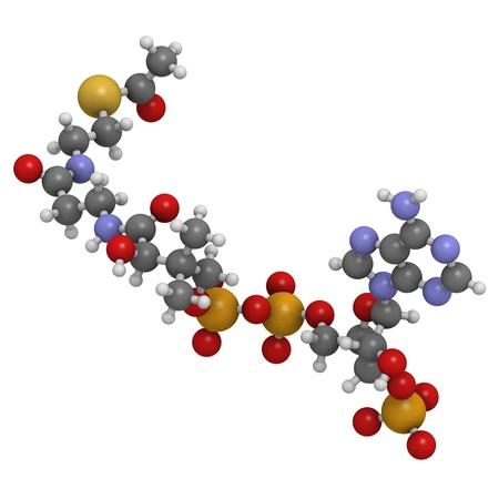 http://us.123rf.com/450wm/molekuul/molekuul1304/molekuul130400011/18805915-acetil-coenzima-a-acetil-coa-modelo-bioquimico-molecular-los-atomos-se-representan-como-esferas-con-.jpg