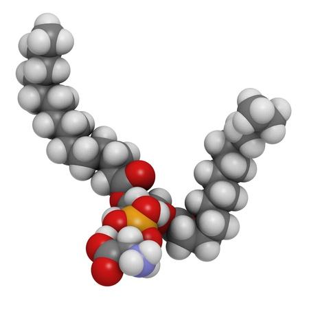 apoptosis: La fosfatidilserina (PS) de la membrana celular bloque de construcci�n, modelo molecular. PS es tambi�n importante en la apoptosis (muerte celular programada). Los �tomos se representan como esferas con codificaci�n de colores convencionales: hidr�geno (blanco), el carb�n (gris), ox�geno (roja), nitr�geno (blu