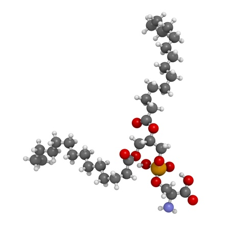 apoptosis: Phosphatidylserine (PS) cell membrane building block, molecular model. PS is also important in apoptosis (programmed cell death). Atoms are represented as spheres with conventional color coding: hydrogen (white), carbon (grey), oxygen (red), nitrogen (blu