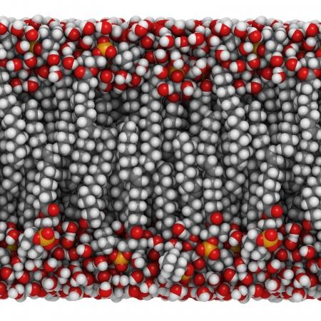 lipid: Palmitoyloleoylphosphatidylcholine (POPC)  lipid bilayer in water, molecular model. Atoms are represented as spheres with conventional color coding: hydrogen (white), carbon (grey), oxygen (red), nitrogen (blue), phosphorus (orange).