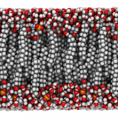 lipid: Palmitoyloleoylphosphatidylethanolamine (POPE) lipid bilayer in water, molecular model. Atoms are represented as spheres with conventional color coding: hydrogen (white), carbon (grey), oxygen (red), nitrogen (blue), phosphorus (orange).