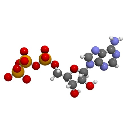 atp: Adenosine triphosphate (ATP) energy transport molecule, chemical structure. ATP is the main energy transport molecule in most organisms. Atoms are represented as spheres with conventional color coding: hydrogen (white), carbon (grey), oxygen (red), nitrog