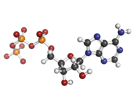 Adenosine triphosphate (ATP) energy transport molecule, chemical structure. ATP is the main energy transport molecule in most organisms. Atoms are represented as spheres with conventional color coding: hydrogen (white), carbon (grey), oxygen (red), nitrog photo