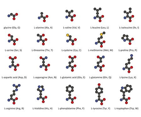 Les acides amin�s. Structures chimiques 2D de 20 acides amin�s communs trouv�s dans les prot�ines, avec des atomes repr�sent�s de fa�on classique cercles de couleur. Hydrog�nes omis pour plus de clart�.
