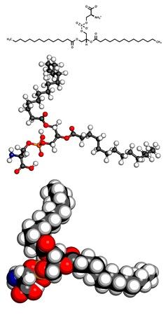membrane cellulaire: Phosphatidyls�rine bloc (PS) de la cellule � membrane de construction, le mod�le mol�culaire. PS est aussi important dans l'apoptose (mort cellulaire programm�e). Les atomes sont repr�sent�s par des sph�res avec codage couleur conventionnels: l'hydrog�ne (blanc), le carbone (gris), d'oxyg�ne (rouge), l'azote (blu