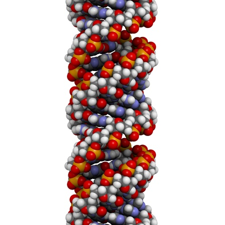 nucleotide: DNA (A-DNA conformation) structure. DNA is the main carrier of genetic information in all organisms. The DNA shown here is in the rare and possible non-native A conformation. Atoms are represented as spheres with conventional color coding: hydrogen (white