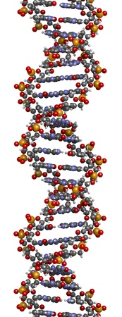 nucleotide: DNA structure. Computer model of part of the gene for human growth hormone, shown in the B-DNA form. Atoms are represented as spheres with conventional color coding: hydrogen (white), carbon (grey), oxygen (red), nitrogen (blue), phosphorus (orange). Stock Photo