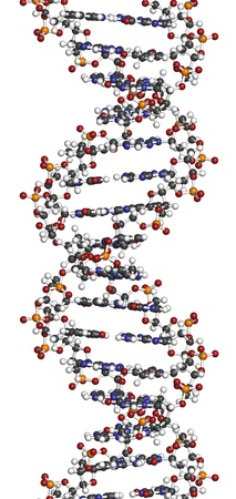 DNA structure. Computer model of part of the gene for human growth hormone, shown in the B-DNA form. Atoms are represented as spheres with conventional color coding: hydrogen (white), carbon (grey), oxygen (red), nitrogen (blue), phosphorus (orange). Stockfoto