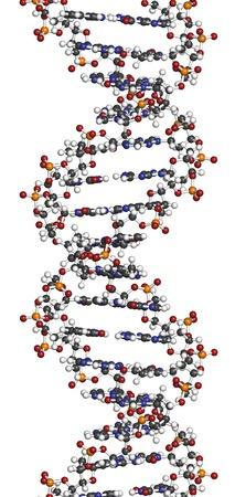 DNA-Struktur. Computer-Modell eines Teils des Gens für das menschliche Wachstumshormon, in der B-DNA dargestellt. Atome sind als Kugeln mit herkömmlichen Farbcodierung repräsentiert: Wasserstoff (weiß), Kohlenstoff (grau), Sauerstoff (rot), Stickstoff (blau), Phosphor (orange). Standard-Bild - 19743956