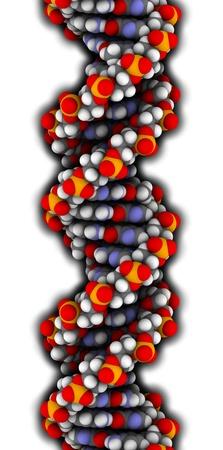 DNA-structuur. Computermodel van een deel van het gen voor humaan groeihormoon, in de B-vorm DNA. Atomen worden weergegeven als bollen met conventionele kleurcodering: waterstof (wit), koolstof (grijs), zuurstof (rood), stikstof (blauw), fosfor (oranje).