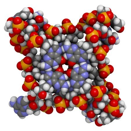 apoptosis: Tel?os: estructura del ADN telom?co humano. Los ?mos se representan como esferas con c?o de colores convencionales: hidr?o (blanco), el carb?gris), ox?no (roja), nitr?o (azul), f?ro (naranja).