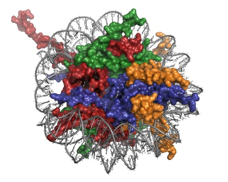 Nucleosome, molecular model. The nucleosome consists of a DNA double helix wrapped around a core of histone proteins. DNA is colored grey, histone H3 red, histone H4 green, histone H2a blue and histone H2b orange.