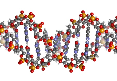 macromolecule: DNA structure. Computer model of part of the gene for human growth hormone, shown in the B-DNA form. Atoms are represented as spheres with conventional color coding: hydrogen (white), carbon (grey), oxygen (red), nitrogen (blue), phosphorus (orange). Stock Photo