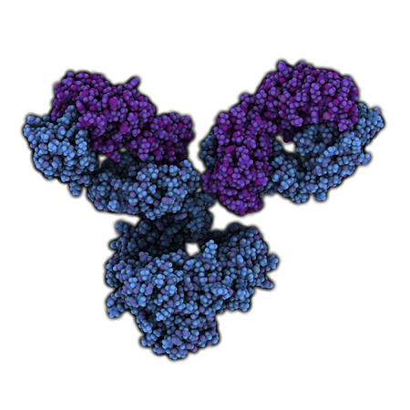 IgG1 monoclonal antibody (immunoglobulin). Play essential role in immunity against bacteria and viruses. Many biotech drugs are antibodies. Atoms are represented as spheres. Heavy chains are colored blue, light chains are colored purple.