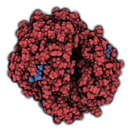 Hemoglobin (human, Hb) protein molecule, chemical structure. Iron-containing oxygen transport protein found in red blood cells. Atoms are represented as spheres. Red shaded protein. Hemes are blue shaded. photo