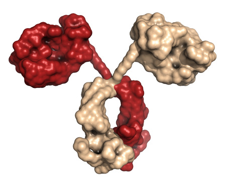 Immunoglobulin A (dimeric IgA). IgA are the main antibodies found in mucous excretions and in the gut. Surface representation, based on backbone atoms only. photo