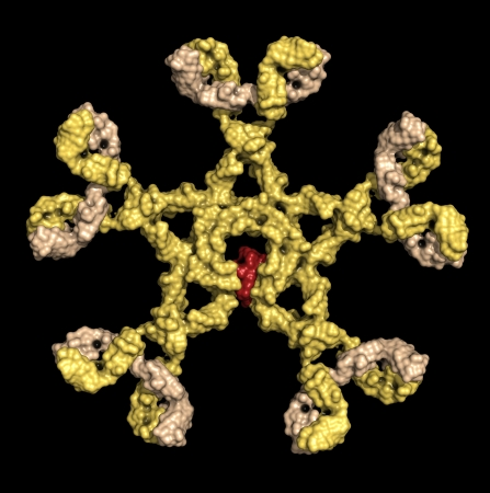 complement: Immunoglobulin M (pentameric IgM). IgM are the first antibodies to appear during an infection. Detection of IgM is often used in the diagnosis of infectious disease. Surface representation, based on backbone atoms only. Coloring: yellow heavy chains, sand