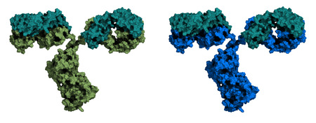 epitope: Monoclonal antibody (Immunoglobulin G, IgG2a, mAb) molecule, chemical structure. Most current biotech drugs are monoclonal antibodies. Two surface representations. Heavy and light chains rendered in different colors. Illustration