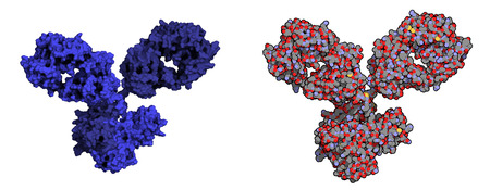 IgG1 monoclonal antibody (immunoglobulin). Play essential role in immunity against bacteria and viruses. Many biotech drugs are antibodies. Left: molecular surface model. Right: Atoms except hydrogen shown; conventional atom coloring. Vector