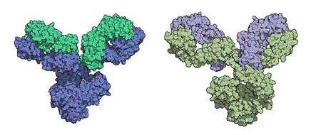 IgG1 monoclonal antibody (immunoglobulin). Play essential role in immunity against bacteria and viruses. Many biotech drugs are antibodies. Atoms except hydrogen shown; Heavy and light chains shaded in different colors.