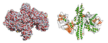 toxin: Botulinum toxin neurotoxic protein. Produced by Clostridium botulinum. Cosmetically used to treat wrinkles. Left: all atoms shown as conventionally colored spheres. Right: cartoon model with secondary structure coloring. Illustration