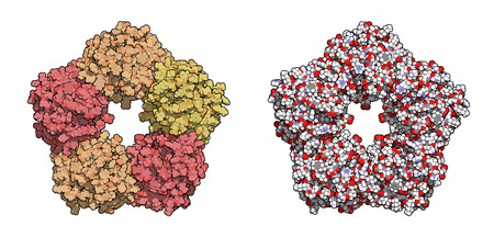 C-reactive protein (CRP, human) inflammation biomarker, chemical structure. Infections and inflammation cause increased blood levels of this protein. Atoms shown as spheres. Left: per chain coloring. Right: conventional atom coloring. Stock Vector - 22802667