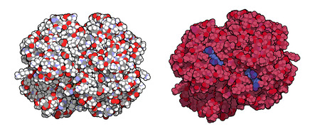 Hemoglobin (human, Hb) protein molecule, chemical structure. Iron-containing oxygen transport protein found in red blood cells. Left: all atoms shown as conventionally colored spheres. Right: protein colored red, heme colored blue. Illustration