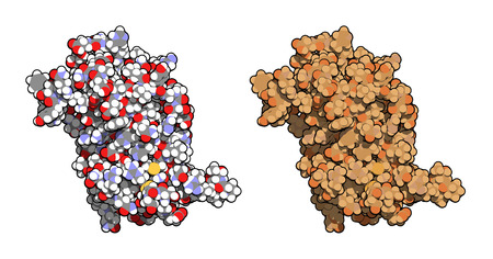 Human growth hormone (hGH, Somatotropin) molecule. Natural hormone that is used both as a drug and as a doping agent. Left: all atoms shown as conventionally colored spheres. Right: all atoms shown, brown shaded. Vector