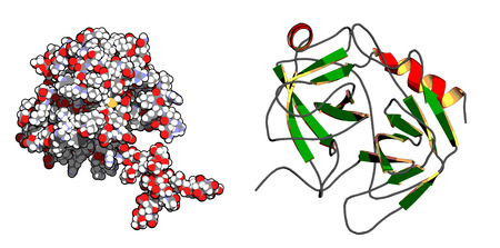Prostate-specific antigen (PSA, gamma-seminoprotein , kallikrein-3, KLK3) prostate cancer marker protein. Left: all atoms shown as conventionally colored spheres. Right: cartoon model with secondary structure coloring. Vector