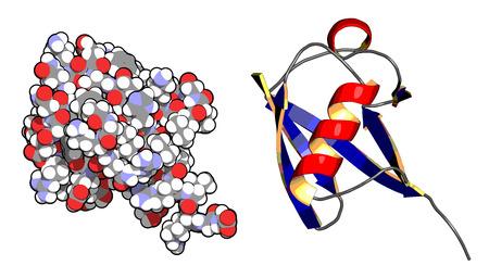 apoptosis: Mol�cula de prote�na ubiquitina, la estructura qu�mica. La ubiquitina es una etiqueta molecular que indica prote�nas marcadas para su reciclaje. Izquierda: todos los �tomos muestran como esferas de color convencionalmente. Derecha: Modelo de la historieta con la estructura de color secundario.