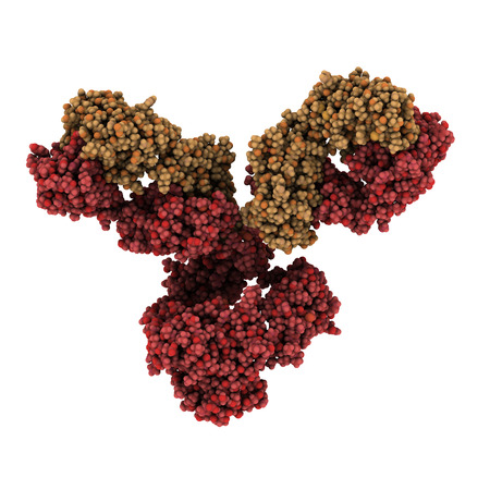 IgG1 monoclonal antibody (immunoglobulin). Play essential role in immunity against bacteria and viruses. Many biotech drugs are antibodies. Atoms are represented as spheres. Brown shaded light chains, red shaded heavy chains.