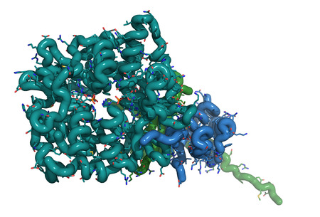 AMP-activated protein kinase (AMPK) fragment with AMP bound. AMPK regulates cellular metabolism depending on energy availability. Tube & wire representation; coloring per chain Banco de Imagens - 24079129