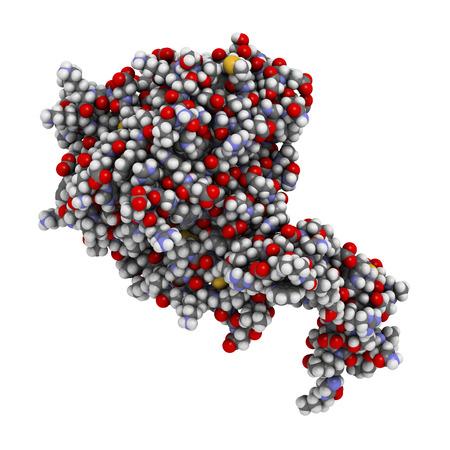 recombinant: Attivato umano la proteina C (APC, drotrecogin alfa, senza Gla-domain). Ha propriet� anti-trombotici e anti-infiammatori. Usato per trattare la sepsi (obsoleto). Atomi mostrati come sfere con convenzionale codifica a colori: idrogeno (bianco), carbonio (grigio), ossigeno (r Archivio Fotografico
