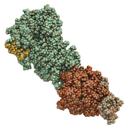 coagulation: Coagulation factor IXa (FIXa), crystal structure. Hereditary deficiency causes hemophilia B (Christmas Disease). Atoms shown as spheres. Coloring per chain. Stock Photo