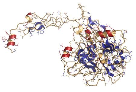 protease: Factor de coagulaci�n VII activado (FVIIa), estructura qu�mica. Juega un papel en la coagulaci�n de la sangre (coagulaci�n). La prote�na recombinante se utiliza en el tratamiento de la hemofilia. Representaci�n de dibujos animados y alambre. Estructura colorante secundario.