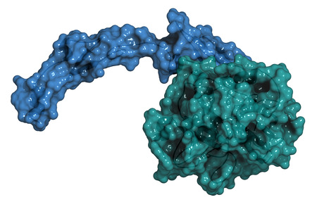 protease: Activated coagulation factor VII (FVIIa), chemical structure. Plays role in blood clotting (coagulation). Recombinant protein used in hemophilia treatment. Cartoon model & semi-transparent surface. Coloring per chain. Stock Photo