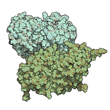 recombinant: Glucocerebrosidasi (beta-glucosidasi) molecola enzimatica. Carente nella malattia di Gaucher. Analogo ricombinante utilizzato come farmaco nella malattia di Gaucher. Atomi mostrati come sfere. Colorare ogni catena.