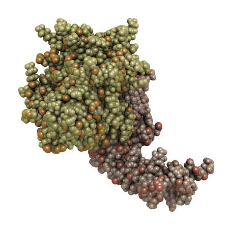 protease: Prote�na C activada humana (APC, drotrecogina alfa, sin dominio Gla). Tiene propiedades anti-tromb�ticos y anti-inflamatorios. Se utiliza para tratar la sepsis (obsoleto). Colorear: por cadena. Foto de archivo