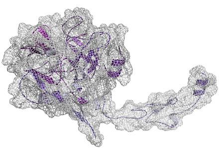 recombinant: Fattore di coagulazione VII attivato (FVIIa), struttura chimica. Gioca un ruolo nella coagulazione del sangue (coagulazione). Proteina ricombinante utilizzato nel trattamento dell'emofilia. Cartoon & superficie rappresentazione mesh. Struttura colorante secondario.