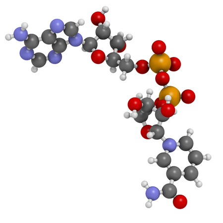 Nicotinamide adenine dinucleotide (NAD+) coenzyme molecule. Important coenzyme in many redox reactions. Atoms are represented as spheres with conventional color coding: hydrogen (white), carbon (grey), nitrogen (blue), oxygen (red), phosphorus (orange).