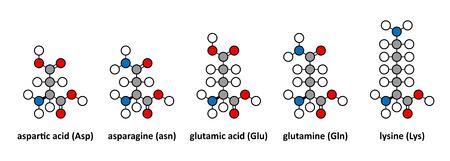 glutamate: Aspartic acid; asparagine; glutamic acid; glutamine and lysine amino acids. Stylized 2D renderings.