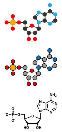 Adenosine monophosphate (AMP, adenylic acid) molecule. Nucleotide monomer of RNA. Composed of phosphate, ribose and adenine moieties. Stylized 2D renderings and conventional skeletal formula. Vector