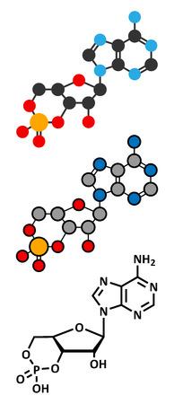 Cyclic adenosine monophosphate (cAMP) second messenger molecule.  Illustration