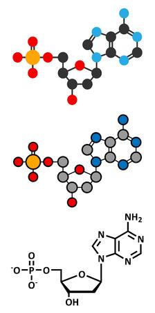 nucleoside: Deoxyadenosine monophosphate (dAMP) nucleotide molecule. DNA building block. Stylized 2D renderings and conventional skeletal formula.