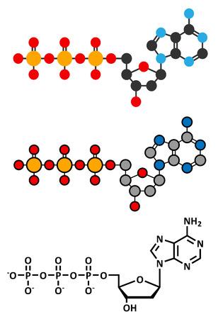 triphosphate: Deoxyadenosine triphosphate (dATP) nucleotide molecule. DNA building block. Stylized 2D renderings and conventional skeletal formula.