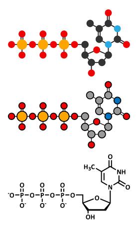 triphosphate: Thymidine triphosphate (TTP) nucleotide molecule. DNA building block. Stylized 2D renderings and conventional skeletal formula.